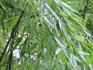 hojas de bambu verdes con tallos Sostenibilidad